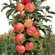 Яблоня колоновидная Останкино C4