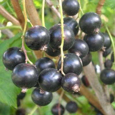 Смородина черная Пигмей C2
