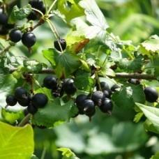 Йошта (Ribes Jostaberry) P9
