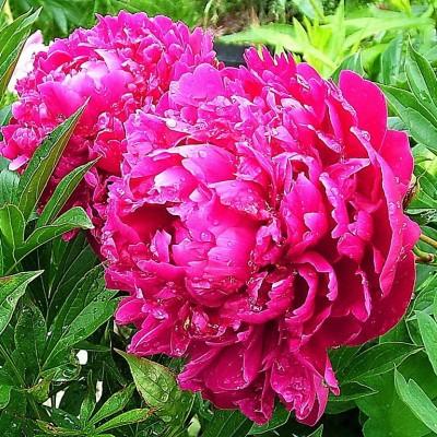 Пион молочноцветковый Себастьян Маас корень 2-3 почки