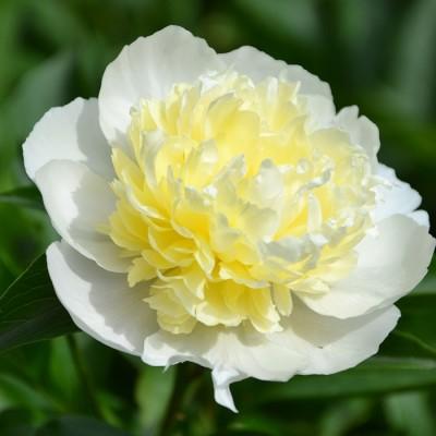 Пион молочноцветковый Лаура Десерт C3