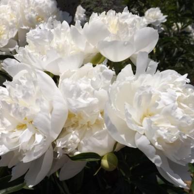 Пион молочноцветковый Дюшес де Немур корень 2-3 почки