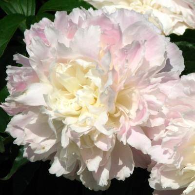 Пион молочноцветковый Ширли Темпл C3