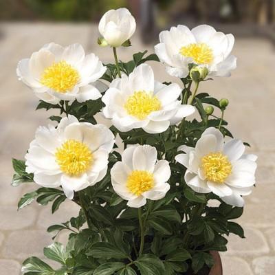 Пион молочноцветковый Дублин С5