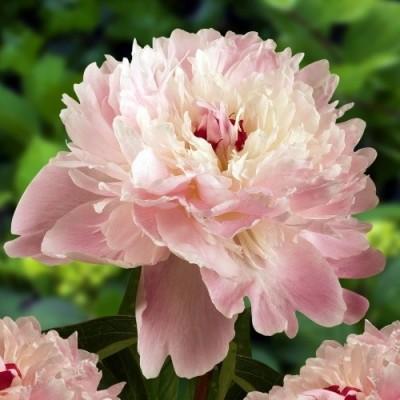 Пион молочноцветковый Алерти С5