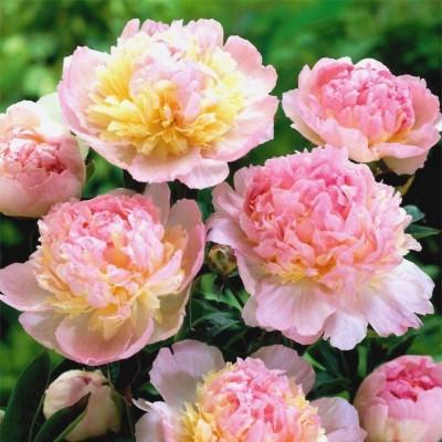 Пион молочноцветковый Респберри Сандае С5