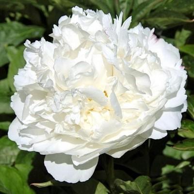 Пион молочноцветковый Уайт Сара Бернар С5
