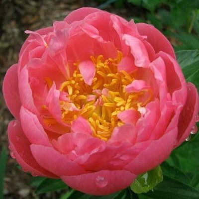 Пион молочноцветковый Пинк Гавайан Корал С5