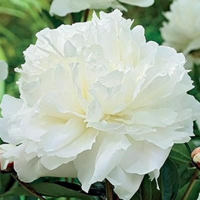 Пион молочноцветковый Уайт Дабл С5