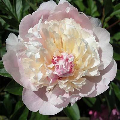 Пион молочноцветковый Мадам Кало С5