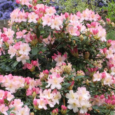 Рододендрон якушиманский Перси Вайсман С10 Н50-60 см