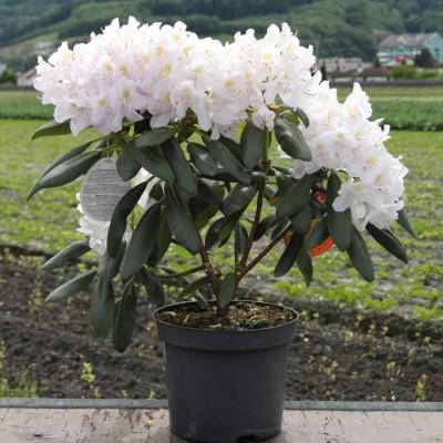 Рододендрон Гибридный Катевбинский Альбум С10 Н50-60 см