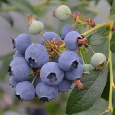Голубика садовая Мидер C3 H30-40 см