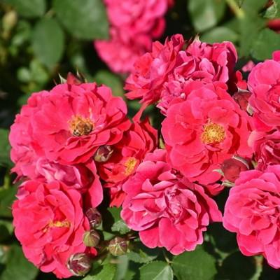 Роза канадская Фротенак C4