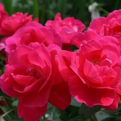 Роза канадская Джордж Ванкувер C4 ПРЕДЗАКАЗ