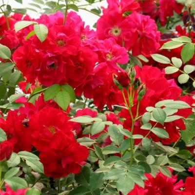 Роза канадская Аделаида Худлес C4