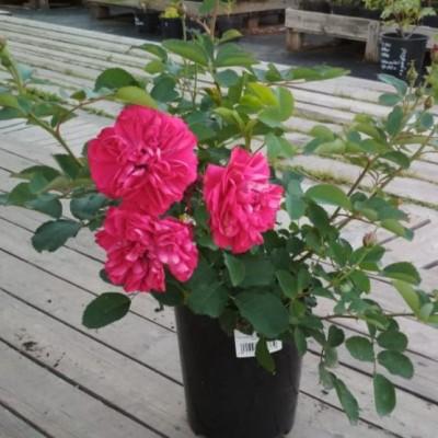 Роза канадская Джон Франклин C3