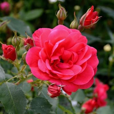 Роза канадская Николас C4
