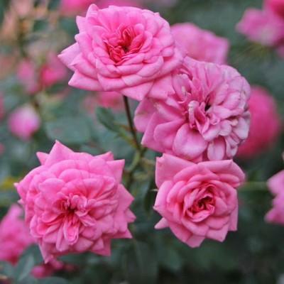 Роза миниатюрная Шуга Бэйби С4
