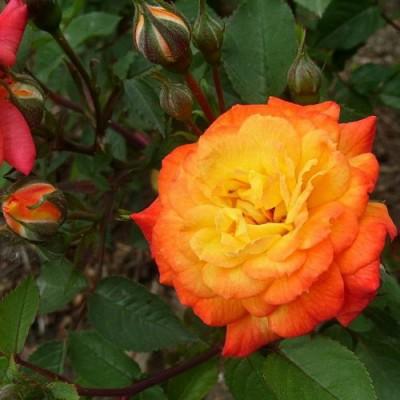 Роза миниатюрная Санмейд С4