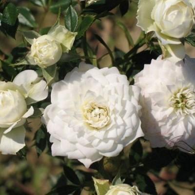 Роза миниатюрная Уайт Джем С4 ПРЕДЗАКАЗ