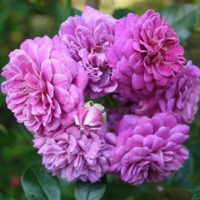 Роза плетистая Старлет Роуз Мелина С4