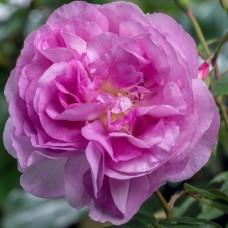 Роза шраб Сапфир С4