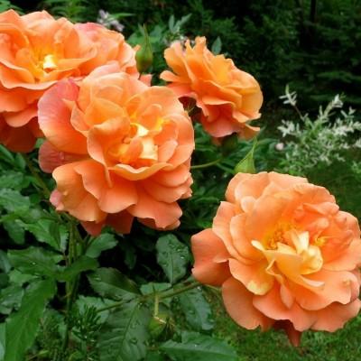 Роза шраб Вестерланд ОКС