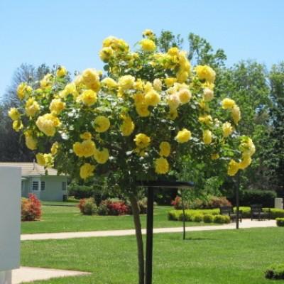 Роза на штамбе Анни Дюпрей PA 90-110 см C10