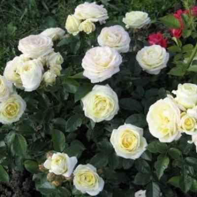 Роза на штамбе Чемборд Кастл PA 90-110 см C10