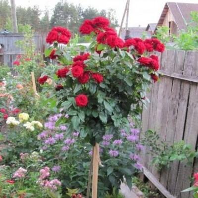 Роза на штамбе Лаваглут РА 90-110 см C10 ПРЕДЗАКАЗ