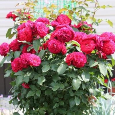 Роза на штамбе Мона Лиза РА 90-110 см C10