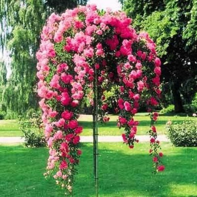 Роза на штамбе Пинк Фейри РА 90-110 см C10