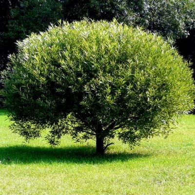 Ива ломкая C7,5 H90-100 см