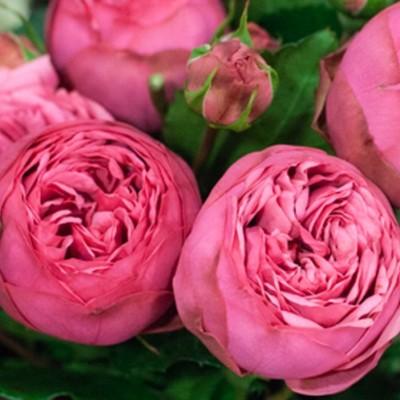 Роза флорибунда Пинк Пиано C4