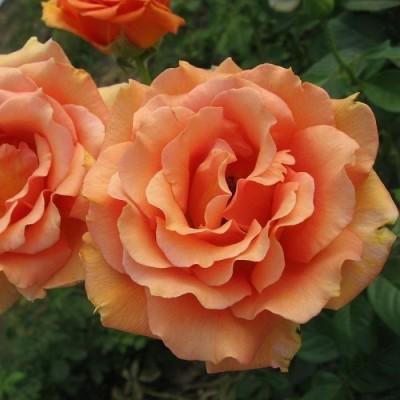 Роза чайно-гибридная Ашрам С4