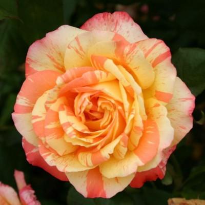 Роза чайно-гибридная Марвел С4 ПРЕДЗАКАЗ