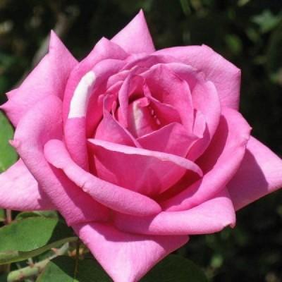 Роза чайно-гибридная Эминенс С4 ПРЕДЗАКАЗ