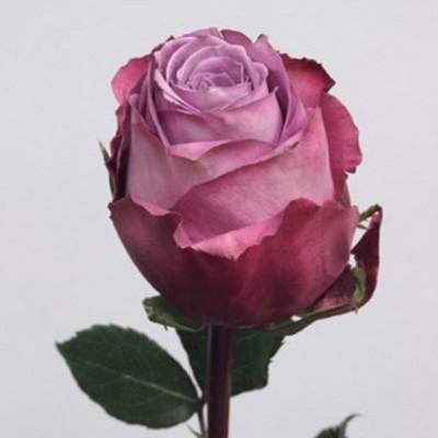 Роза чайно-гибридная Дип Вотер С4