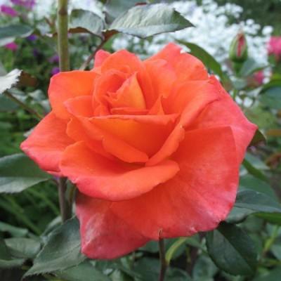 Роза чайно-гибридная Алла С4