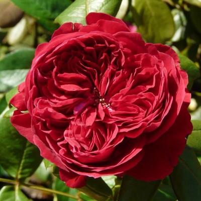 Роза чайно-гибридная Алан Сушон С4 ПРЕДЗАКАЗ