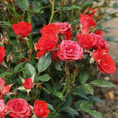 Роза миниатюрная Амор С4