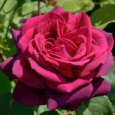 Роза чайно-гибридная Графиня Диана С4
