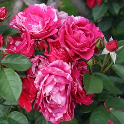 Роза чайно-гибридная Анри Матисс С4
