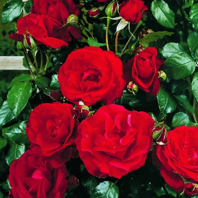Роза плетистая Байкал C4 ПРЕДЗАКАЗ