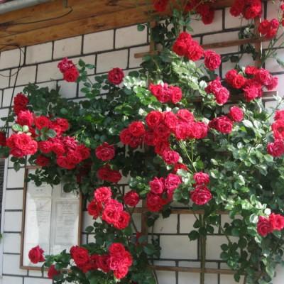 Роза плетистая Нахеглут C4