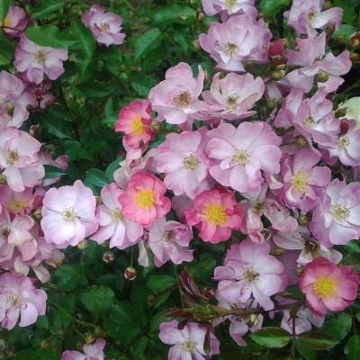 Роза плетистая Естудей C4