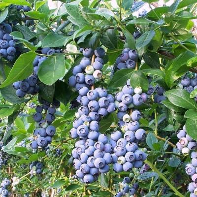 Голубика садовая Бонус Р10 H15-20 см
