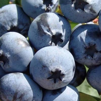 Голубика садовая Дарроу С2 H30-40 см