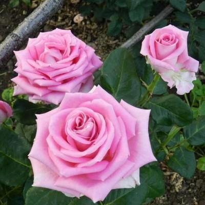 Роза чайно-гибридная Аква С4 ПРЕДЗАКАЗ